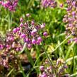 Česnek převislý 'Hidcote' - Allium cernuum 'Hidcote'