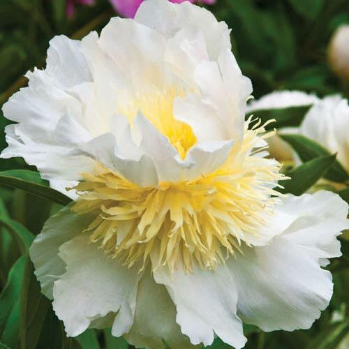 Pivoňka bělokvětá 'Top Brass' - Paeonia lactiflora 'Top Brass'