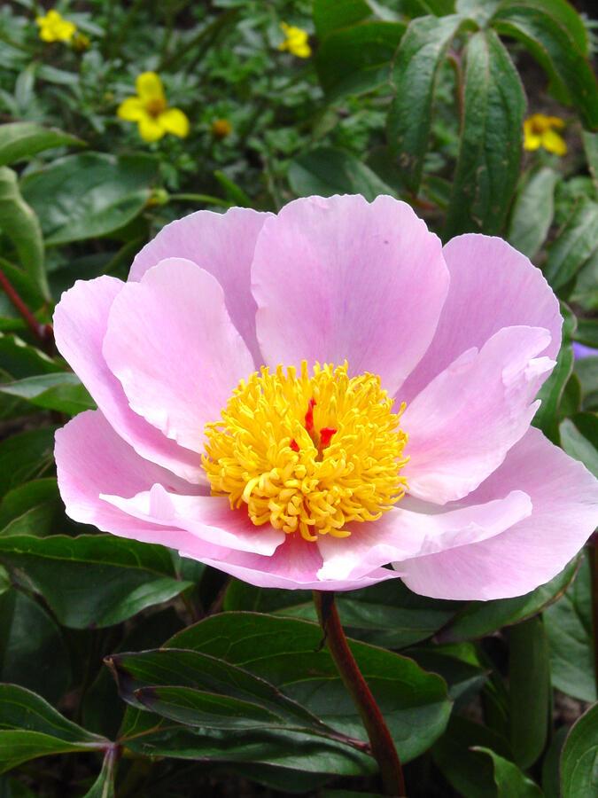 Pivoňka bělokvětá 'Nymphe' - Paeonia lactiflora 'Nymphe'