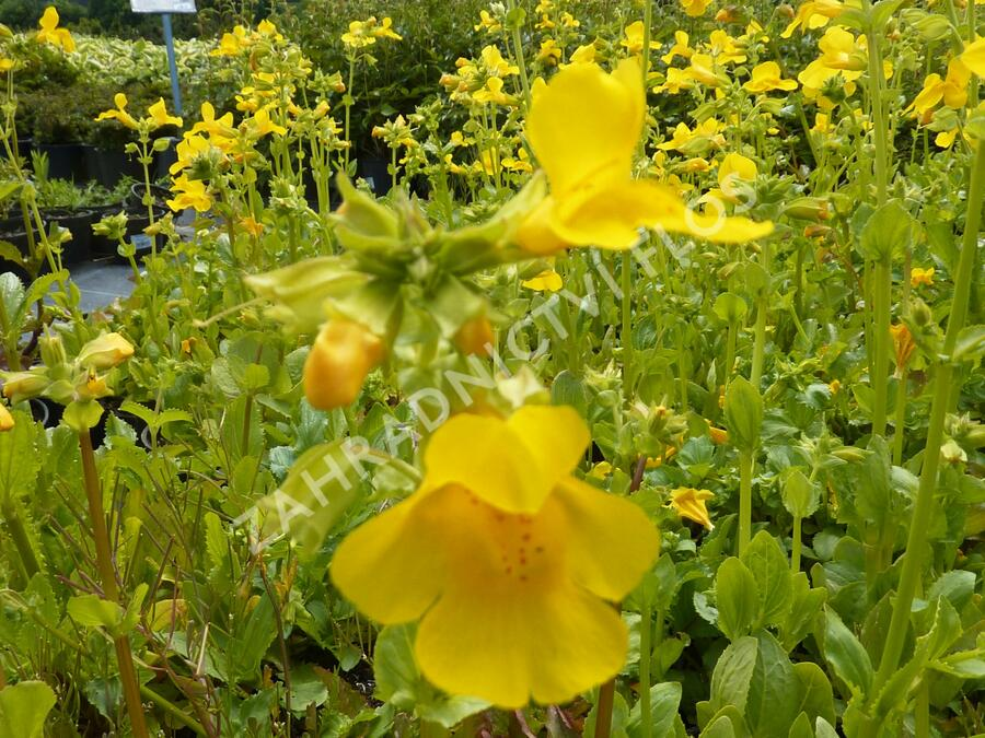 Kejklířka žlutá - Mimulus luteus