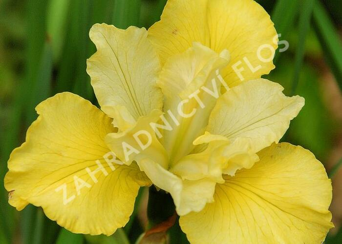 Kosatec sibiřský 'Summer Revels' - Iris sibirica 'Summer Revels'
