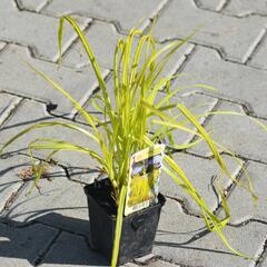 Ostřice pobřežní 'Aurea' - Carex riparia 'Aurea'