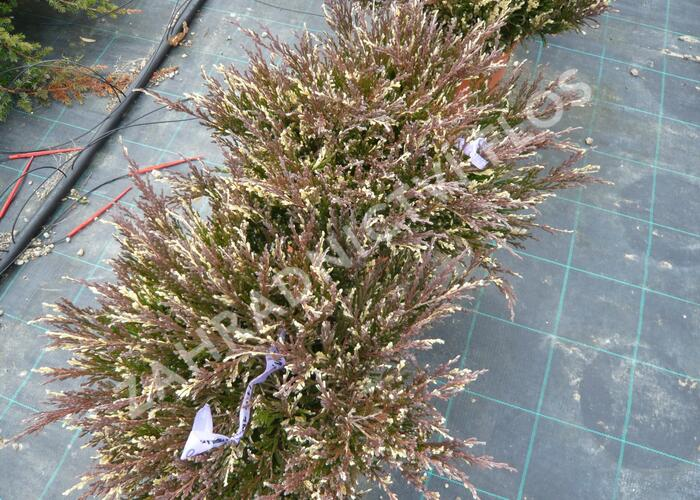 Jalovec polehlý 'Andorra Variegata' - Juniperus horizontalis 'Andorra Variegata'