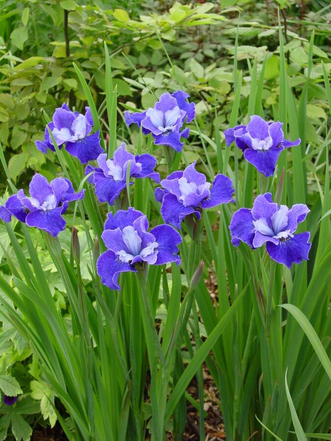 Kosatec sibiřský 'Regency Belle' - Iris sibirica 'Regency Belle'