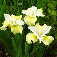 Kosatec sibiřský 'Moon Silk'  - Iris sibirica 'Moon Silk'