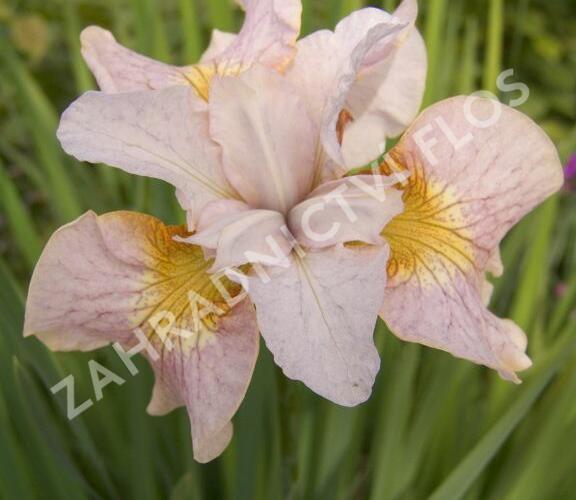 Kosatec sibiřský 'Lemon Veil' - Iris sibirica 'Lemon Veil'