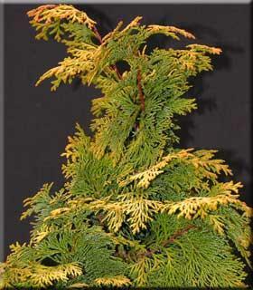Cypřišek tupolistý 'Aurea' - Chamaecyparis obtusa 'Aurea'