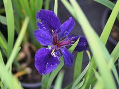 Kosatec 'Black Gamecock' - Iris louisiana 'Black Gamecock'