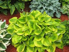 Bohyška 'Summer Breeze' - Hosta 'Summer Breeze'