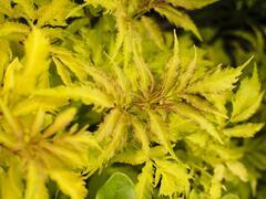 Bez hroznatý 'Plumosa Aurea' - Sambucus racemosa 'Plumosa Aurea'