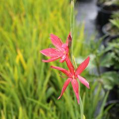 Říční lilie 'Red' - Schizostylis coccinea 'Red'