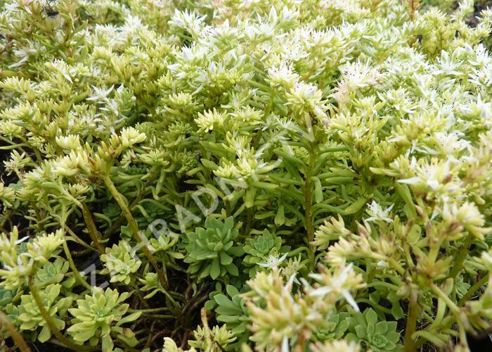Rozchodník - Sedum glaucophyllum