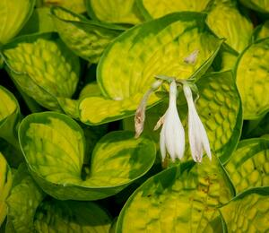 Bohyška 'Rainforest Sunrise' - Hosta 'Rainforest Sunrise'