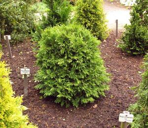 Zerav západní 'Woodwardii' - Thuja occidentalis 'Woodwardii'