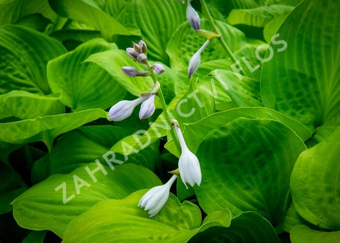 Bohyška 'Banana Kid' - Hosta 'Banana Kid'