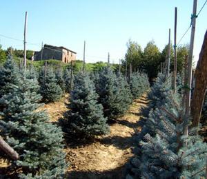 Smrk pichlavý 'Argentea' - Picea pungens 'Argentea'