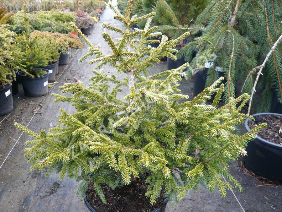 Smrk východní 'Early Gold' - Picea orientalis 'Early Gold'