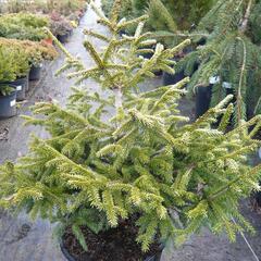Smrk východní 'Early Gold' - Picea orientalis 'Early Gold'