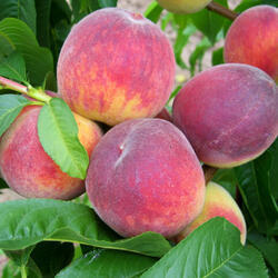 Broskvoň - raná 'Dixired' - Prunus persica 'Dixired'