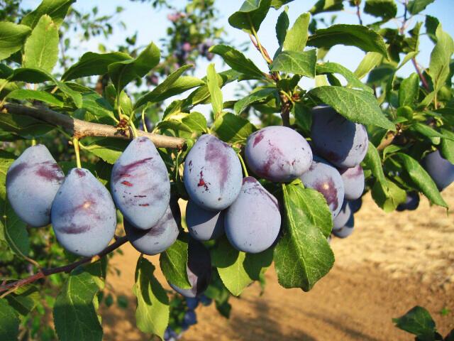Švestka - středně raná 'Vajlevka' - Prunus domestica 'Vajlevka'