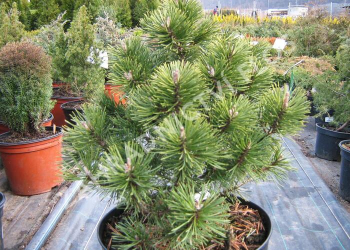 Borovice pyrenejská 'Globosa' - Pinus uncinata 'Globosa'