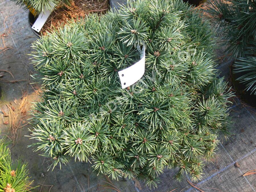 Borovice lesní 'Sandringham' - Pinus sylvestris 'Sandringham'