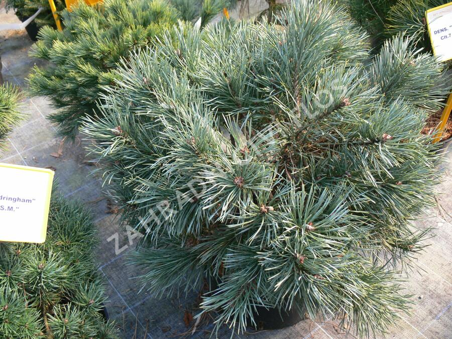 Borovice lesní 'Chantry Blue' - Pinus sylvestris 'Chantry Blue'