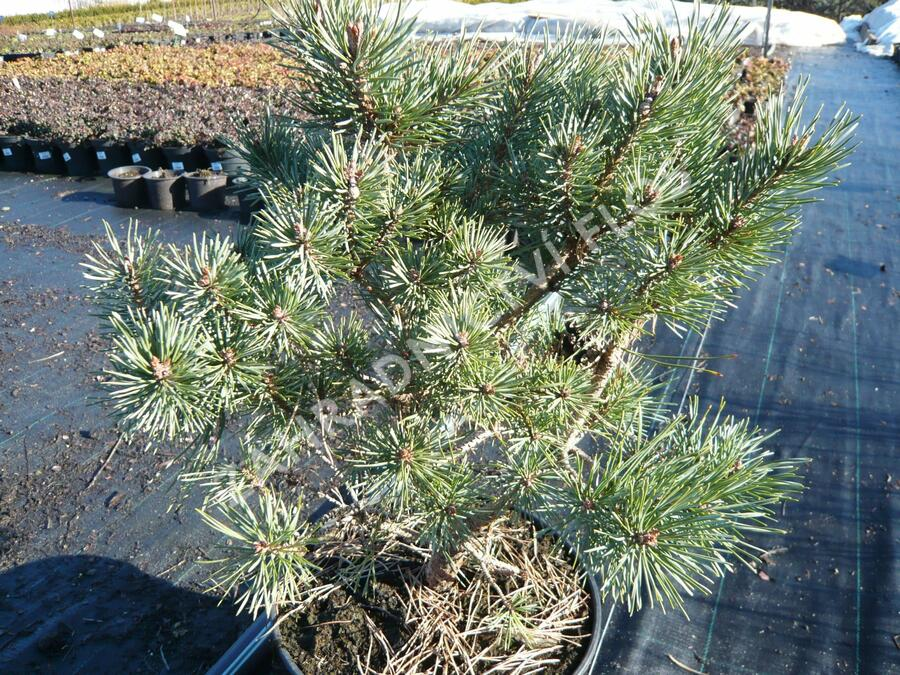 Borovice lesní 'Hoornibrockii' - Pinus sylvestris 'Hoornibrockii'