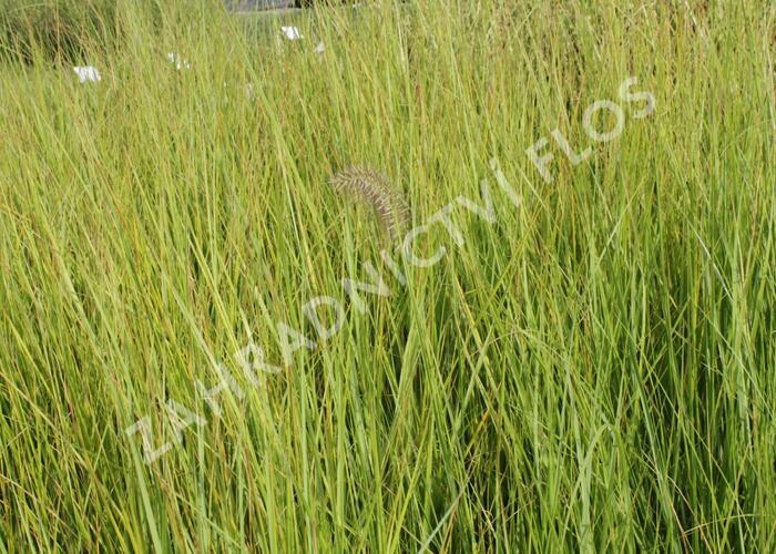 Dochan psárkovitý 'Compresum' - Pennisetum alopecuroides 'Compresum'