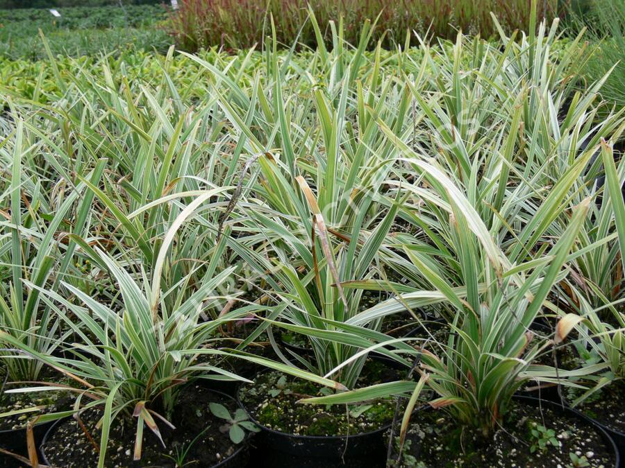 Sedoulek plochostvolý 'Albovariegata' - Ophiopogon planiscapus 'Albovariegata'