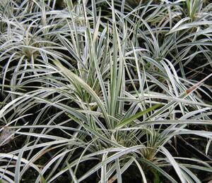 Sedoulek japonský 'White Mist' - Ophiopogon japonicus 'White Mist'