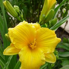 Denivka 'Texas Sunlight' - Hemerocallis 'Texas Sunlight'