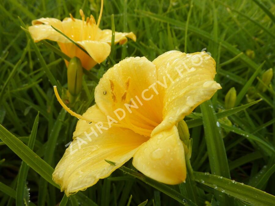 Denivka 'Stella de Oro' - Hemerocallis 'Stella de Oro'