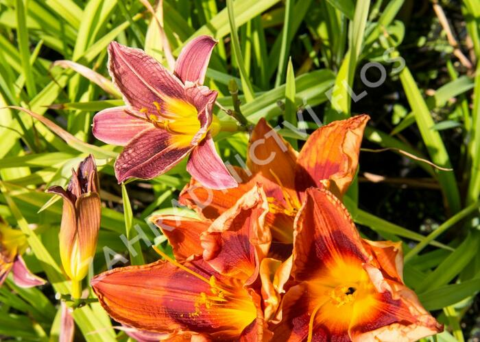 Denivka 'Rocket City' - Hemerocallis 'Rocket City'