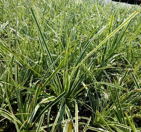 Ostřice ošimenská 'Everest' - Carex oshimensis 'Everest'