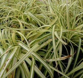 Ostřice ošimenská 'Supergold' - Carex oshimensis 'Supergold'