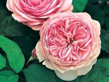 Anglická růže Davida Austina 'Geoff Hamilton' - Rosa S 'Geoff Hamilton'
