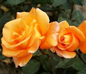 Růže velkokvětá 'Whisky' - Rosa VK 'Whisky'