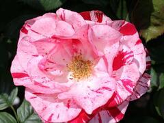 Růže velkokvětá 'Twist' - Rosa VK 'Twist'