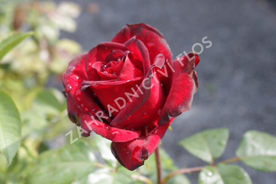 Růže velkokvětá 'Schwarze Madonna' - Rosa VK 'Schwarze Madonna'
