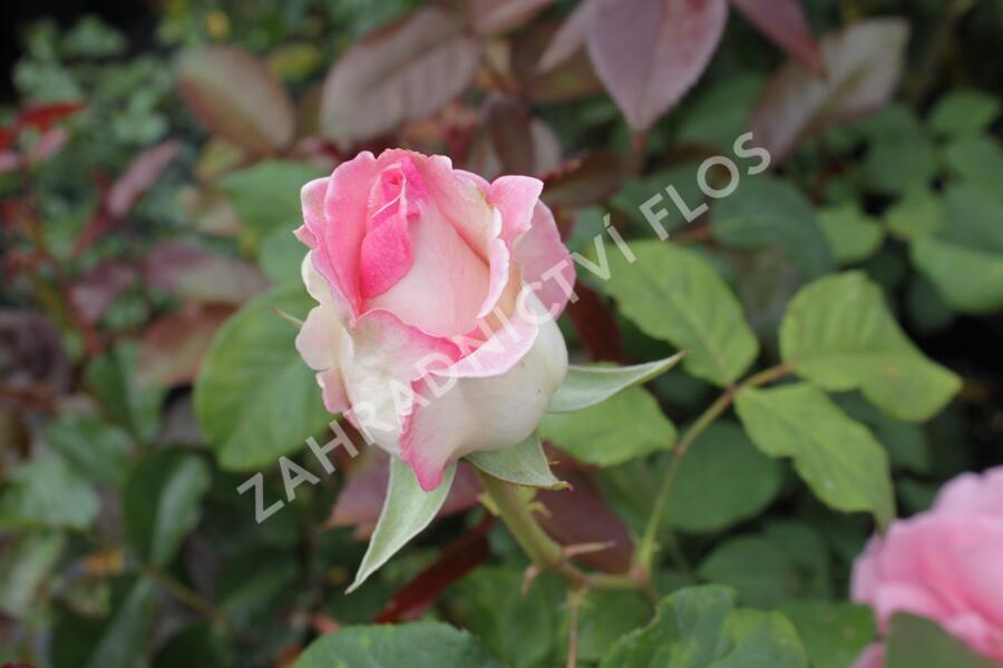 Růže velkokvětá 'Semčice' - Rosa VK 'Semčice'