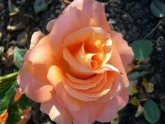 Růže velkokvětá 'Remy Martin' - Rosa VK 'Remy Martin'