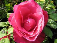 Růže velkokvětá 'Peter Frankenfeld' - Rosa VK 'Peter Frankenfeld'