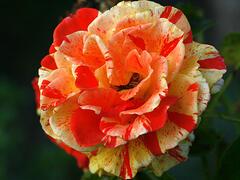 Růže velkokvětá 'Papagena' ('Oranges and Lemons') - Rosa VK 'Papagena' ('Oranges and Lemons')