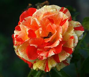 Růže velkokvětá 'Papagena' - Rosa VK 'Papagena'