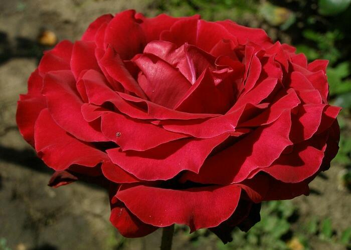Růže velkokvětá 'Norita' - Rosa VK 'Norita'