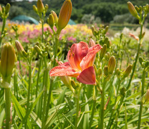 Denivka 'Pretty Fancy' - Hemerocallis 'Pretty Fancy'
