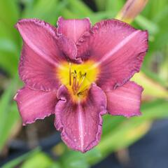 Denivka 'Olive Bailey Langdon' - Hemerocallis 'Olive Bailey Langdon'