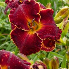 Denivka 'Naughty Red' - Hemerocallis 'Naughty Red'