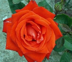 Růže velkokvětá 'Lidka' - Rosa VK 'Lidka'
